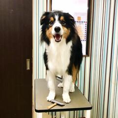 大好き/ボーダーコリー/愛犬/かわいい/LIMIAペット同好会/ペット/... 1ヶ月半ぶりのシャンプー😅  モフモフに…