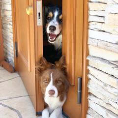 玄関/家族/ボーダーコリー/愛犬/犬/わんこ/... 3年前の写真と 同じアングルの2匹😊
