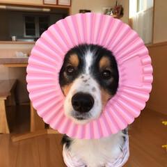 シャンプーハット/可愛い/いぬ/中型犬/ポンデライオン/大好き/... 可愛いでしょ❤️  我が家の シャンプー…