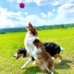 遊び/ボール/ボーダーコリー/愛犬/わんこ/犬/... ナイスキャッチ❤️