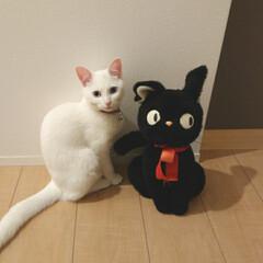 ねこ好き/白ネコはなちゃん/白ネコ/白ねこ同好会/白ねこ/LIMIAペット同好会/... 初投稿です🔰 保護ネコ、白猫のはなです💖…
