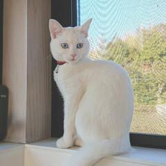 白ネコ/白ねこ/白ねこ同好会/白猫/LIMIAペット同好会/フォロー大歓迎/... はな、お気に入り写真。 ブルーの瞳が自慢…