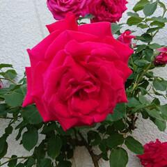令和元年フォト投稿キャンペーン/風景 今日出会った薔薇。 何色って言ったらいい…(1枚目)