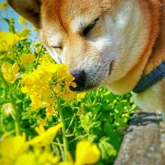 豆柴/柴犬/LIMIAペット同好会/LIMIAおでかけ部/フォロー大歓迎/ペット/... ご近所さんの菜の花畑が満開❤