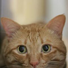 福ちゃん/トラ猫/茶トラ/猫 お顔におててはえました
