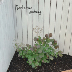 すのこリメイク/ガーデニング/地植え/スモークツリー 外の三角コーナーにスモークツリーを植えま…