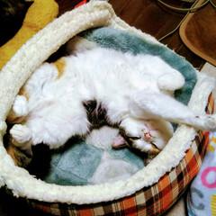 おやすみショット 三毛猫の「なる」、女の子です! 普段はシ…