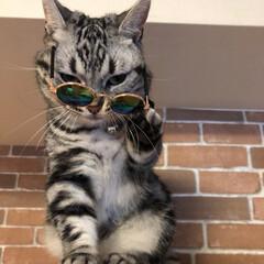 猫派/おすすめアイテム/令和の一枚/フォロー大歓迎/LIMIAペット同好会/にゃんこ同好会/... にゃんこ用サングラス着用🕶 あれ?にゃに…