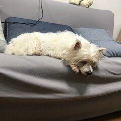 おやすみショット ウエスティ 14歳 今日は、ちびすけ3歳…