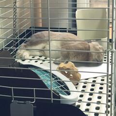 うさぎroom/おやすみショット グッスリ寝てるウサギのラビィさん…あなた…
