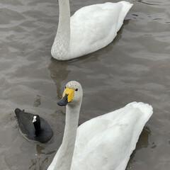 冬の湖/冬鳥 白鳥の湖のはずが…昼間は鴨の湖デス