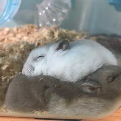 ハムスター/ジャンガリアンハムスター/おやすみショット いつも寝るときは一緒に寝る🐹しろとくろ🐻…