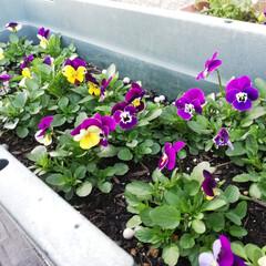 ビオラ/種から育てる/秋植え/先祖返り/紫 小さな顔のビオラがたくさん咲きました。 …