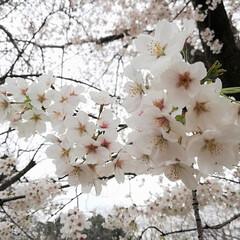桜/ソメイヨシノ/公園/茨城/花見 茨城も先週末ソメイヨシノが咲きました。近…
