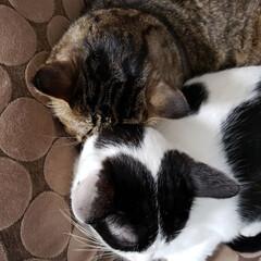 はちわれ/キジトラ/犬と猫と暮らす/ねこ/LIMIAペット同好会/にゃんこ同好会 くるみとたんごのねこ連結です😂