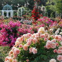 おでかけ/バラ/京成バラ園/ローズフェスティバル/薔薇/千葉/... 〔京成バラ園〕では、5月10日(金)~6…