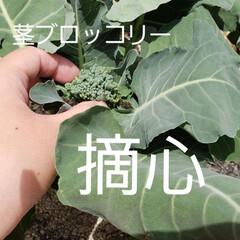 摘心/茎ブロッコリー/二十日ネギ/小松菜/ベビーリーフ/家庭菜園/... 茎ブロッコリーの摘心を行いました! お花…