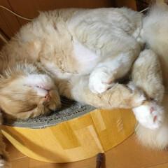 もふもふ/アメリカンカール/猫/にゃんこ/猫のいる暮らし/おやすみショット 鼻をピーピー鳴らして寝ておりますฅ•ω•ฅ