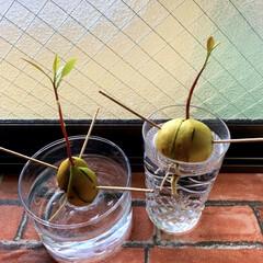 観葉植物のある暮らし/アボカドの種から育てた/アボカドの種/アボカド/簡単/暮らし/... 家のアボカド君達🌱 以前にupしたアボカ…