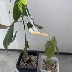 観葉植物 家の観葉植物君たち🪴  胡蝶蘭、花が終わ…(4枚目)
