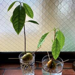 観葉植物/観葉植物のある暮らし/アボカド/植え替え/アボカド水栽培/アボカドの種 アボカド。 アボカドの水栽培でだいぶ、根…(2枚目)
