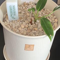 観葉植物 家の観葉植物君たち🪴  胡蝶蘭、花が終わ…(3枚目)