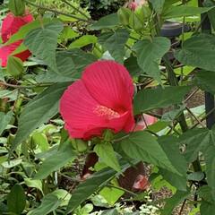 お花 お散歩中に見つけたお花 あんまり綺麗に咲…