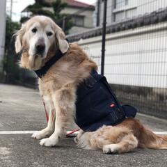 老犬/シニア犬/ナックリング/歩行補助ハーネス/大型犬/ゴールデンレトリバー/... * * ゴル君 今日から新アイテム導入!…