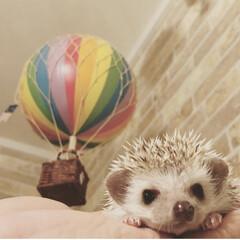 ハリネズミ/うちの子ベストショット/ハリネズミ専門店/気球/ハリネズミの隠れ家/ハリネズミ専門店ハリネズミの隠れ家/... 気球とハリネズミちゃん♡ とっても可愛い…