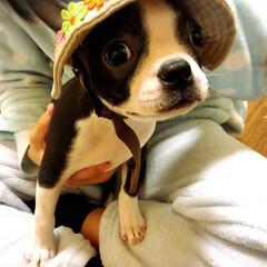 ボストンテリア/ボステリ/ブサカワ犬/ボストンテリアの仔犬/幼稚園/保育園/... 春から幼稚園行くの💓