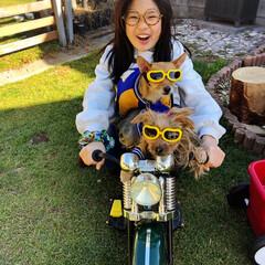 三姉妹/ヨーチー/ヨーキー/バイク乗り/バイク犬/うちの子ベストショット 三姉妹です🤣