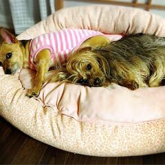 ヨーチー/ヨーキー/親子犬/おやすみショット 仲良し親子犬です