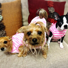ヨーチー/ヨーキー/ボストンテリア/ブサカワ犬/三姉妹/うちの子ベストショット お揃いの服を着た三姉妹