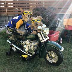 バイク犬/ヨーチー/ヨーキー/親子犬/2人乗り/うちの子ベストショット ツーリング行かない?🏍