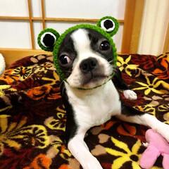 カエル犬/ボストンテリア/ブサカワ犬/三姉妹/うちの子ベストショット カエルになりたい🐸