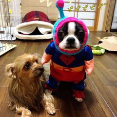 ヨーチー/ヨーキー/ボストンテリア/三姉妹/宇宙犬/宇宙犬戦士スヌード/... 宇宙犬戦士コリ‼️ いつもビーム出してま…