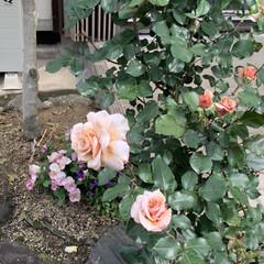 「庭のバラさんたちが咲き誇ってかかました …」(3枚目)
