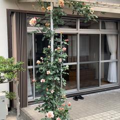 「庭のバラさんたちが咲き誇ってかかました …」(4枚目)