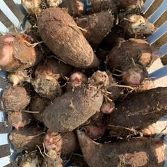 「菊芋と小芋収穫☺️ 暑すぎた夏を乗り越え…」(3枚目)