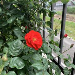 「庭のバラさんたちが咲き誇ってかかました …」(1枚目)