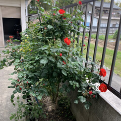 「庭のバラさんたちが咲き誇ってかかました …」(2枚目)