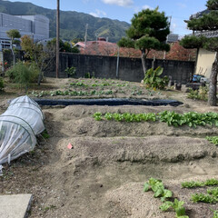 「菊芋と小芋収穫☺️ 暑すぎた夏を乗り越え…」(1枚目)