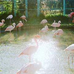 フラミンゴ/おでかけワンショット/動物園/Zoo/逆光/フィルムカメラ/... フィルムカメラで撮ったキラキラフラミンゴ。