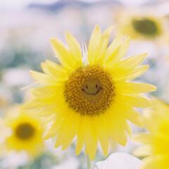 ヒマワリ/ひまわり/向日葵/おでかけワンショット/フィルムカメラ 笑っているヒマワリ