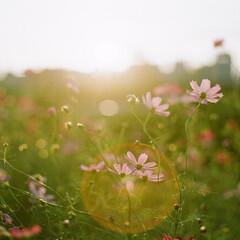 コスモス/秋桜/おでかけワンショット/逆光/フィルムカメラ/花/... コスモスが夕日に照らされてとても綺麗でし…