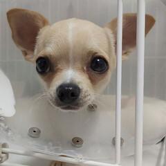 チワワ/ペット/犬 もか、今日は去勢手術をしてきました…。 …(3枚目)