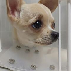 チワワ/ペット/犬 もか、今日は去勢手術をしてきました…。 …(1枚目)
