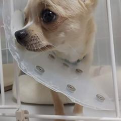 チワワ/ペット/犬 もか、今日は去勢手術をしてきました…。 …(2枚目)