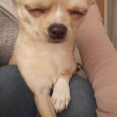 スムースチワワ/ペット/犬/おやすみショット もかちゃん、おひざでうとうと…💤