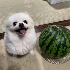 愛犬/ポメラニアン/お供え/初盆/スイカ/家庭菜園/... 我が家の畑で成ったスイカ🍉です😃 このス…